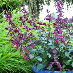 Salvia x 'Love and Wishes' width=