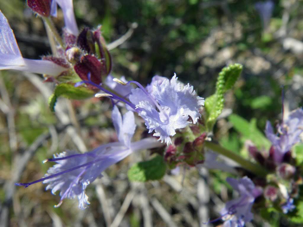 Salvia eremostachya width=