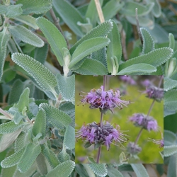 Salvia leucophylla 'Point Sal Spreader' width=