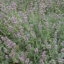Salvia x 'Bee's Bliss' width=