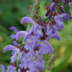 Salvia miltiorrhiza width=