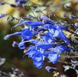 Salvia sagittata width=