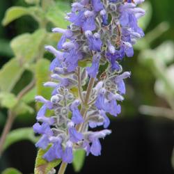 Salvia melissodora width=