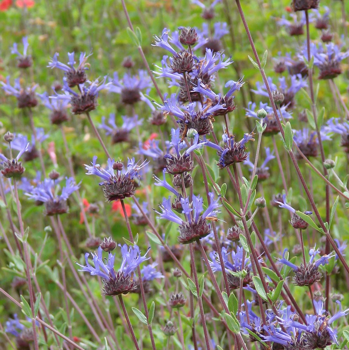Salvia x 'Celestial Blue' width=