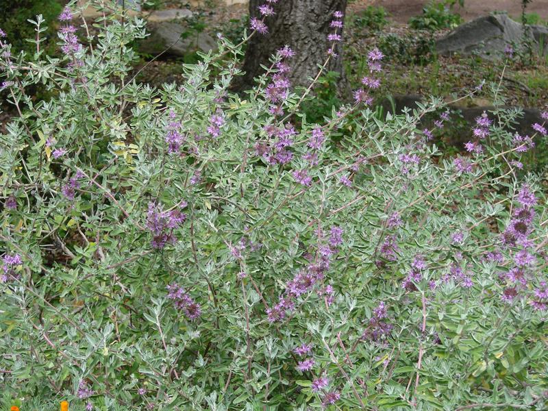 Salvia leucophylla 'Amethyst Bluffs' width=