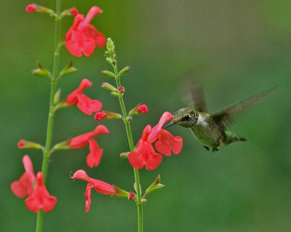 September Tips from FBTS for Salvia Gardening Activities