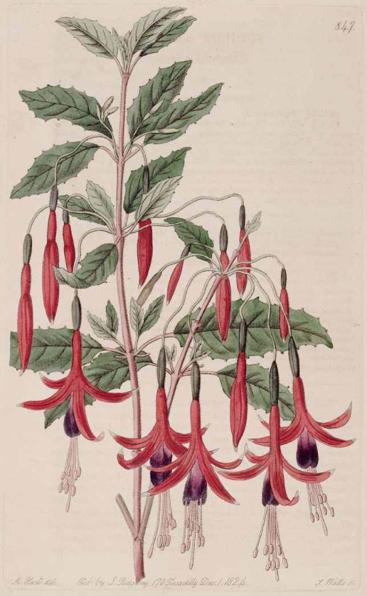 Guide to Fuchsia Cultivation & History