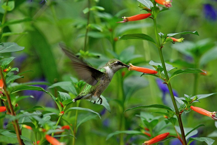 David Verity Cuphea - a Famous Hummingbird Flower History
