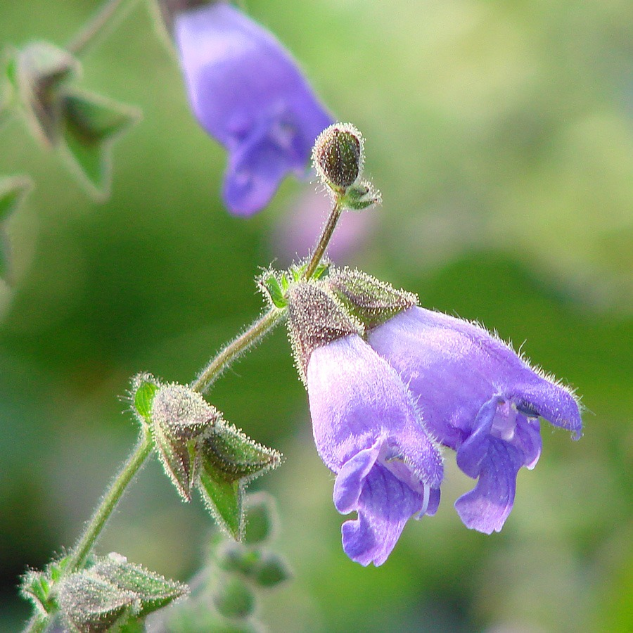 Salvia hians Is Holy Grail for Salvia Collectors - Part 1