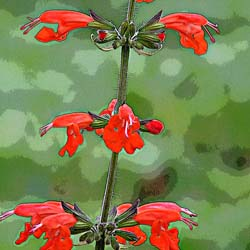 Sacred Sage: Salvia coccinea -- An American Subtropical Treasure