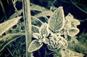 Ask Mr. Sage: First-Aid for Salvia Frost Damage