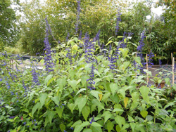 Salvia concolor in Robin's Garden