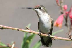 Salvia Small Talk: Texas Hummingbird Roundup
