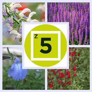 Getting Started: Types of Salvias for Zone 5