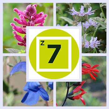 Getting Started: Types of Salvias for Zone 7