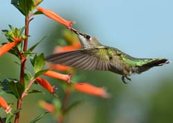 Upcoming at FBTS: Hummingbirds Love Cute Cupheas