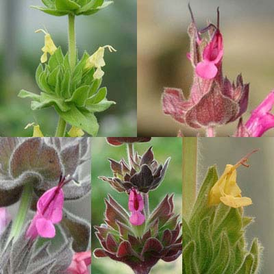 A Gardeners Guide to Hummingbird Sage