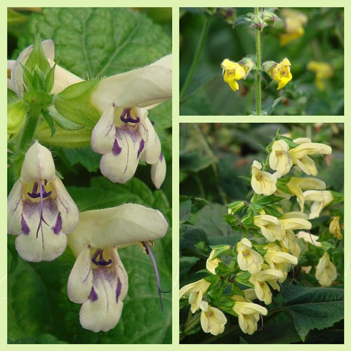 Rare Yellow Salvias from Asia Love Shade, Tolerate Cold