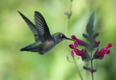 Hummers LOVE Salvias