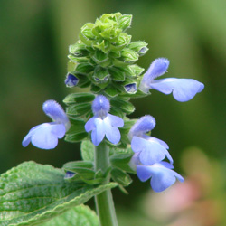 Salvia durifolia 'Elk Blue'