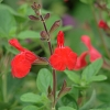 Salvia x 'Elk Orange Spires'