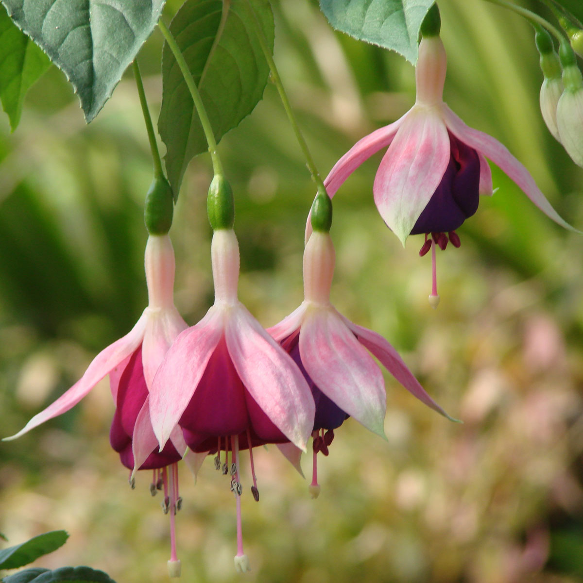 Fuchsia 'Old Berkeley'