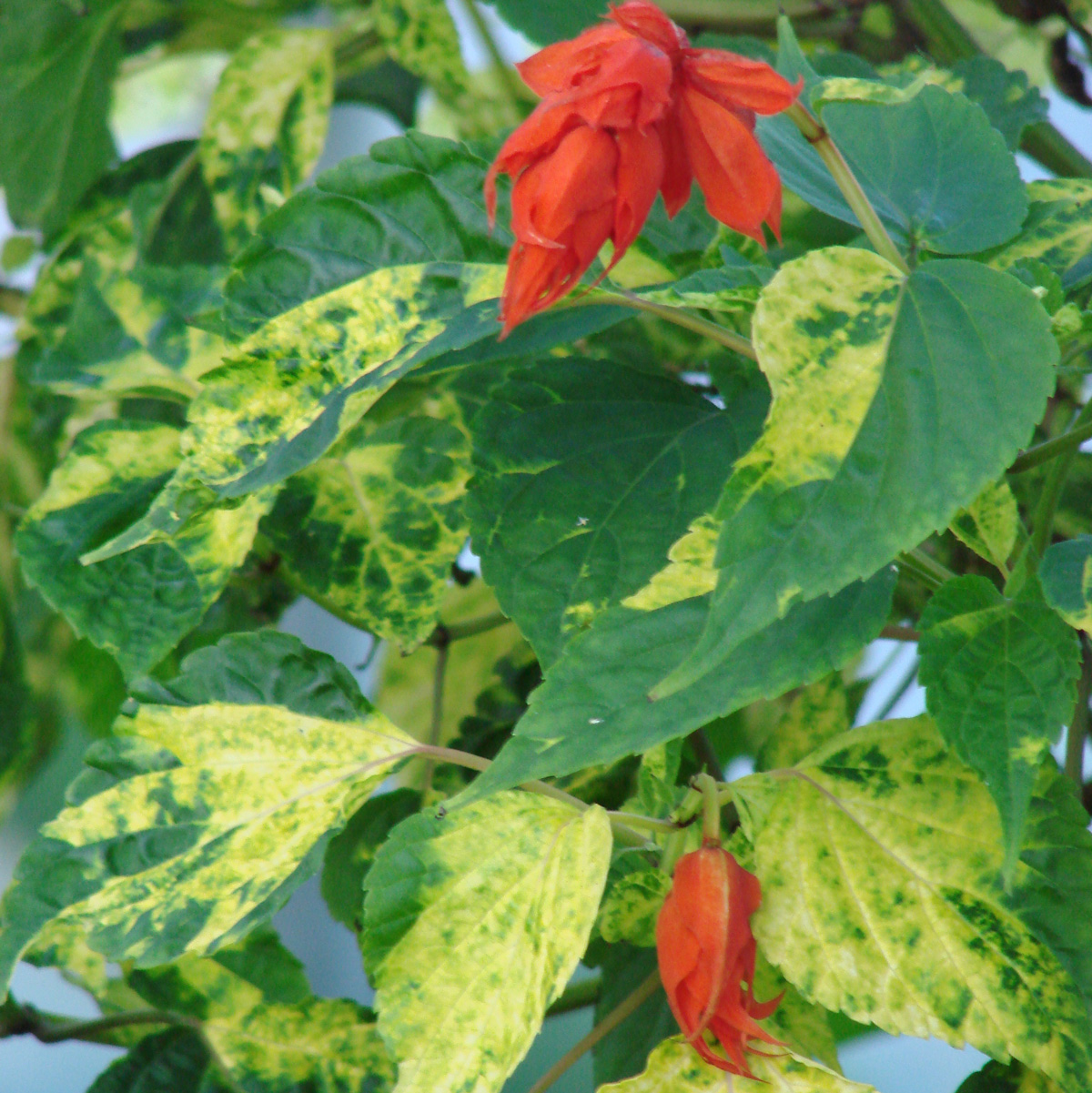 Salvia splendens van houttei 'Dancing Flame' width=