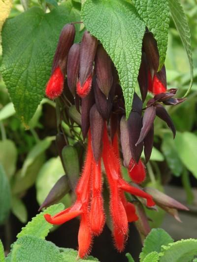 Salvia dombeyi width=