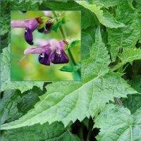 Salvia glabrescens 'Shi Ho'