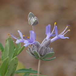 Salvia brandegeei