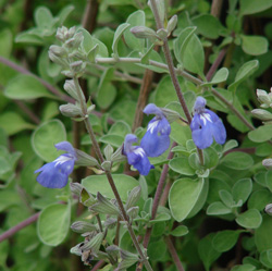 Salvia chionophylla