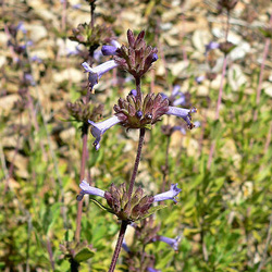 Flowers By The Sea Salvia Mail Order Nursery