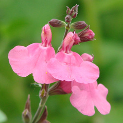 Salvia microphylla 'Heatwave Scorcher'