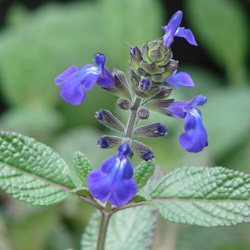 Salvia nana 'Elk Blue'