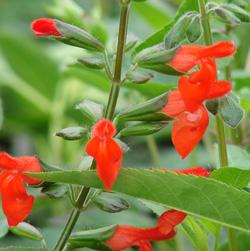 Salvia blepharophylla 'Cervina'