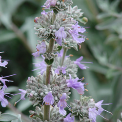 Salvia x 'Gayle Nielson'