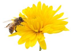 A honeybee at work